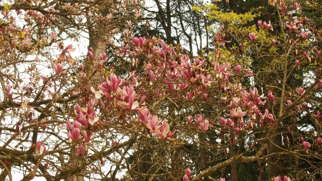 Pena Sarayı'nın bahçesindeki manolya ağaçları